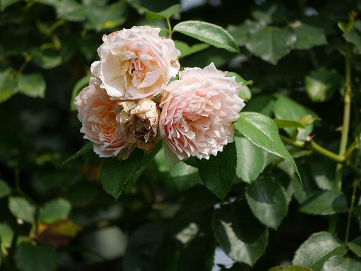 ジンジャー・シラバブ(Ginger Syllabub)の夏花が増えてきた。ツルバラ。2020年-002.jpg