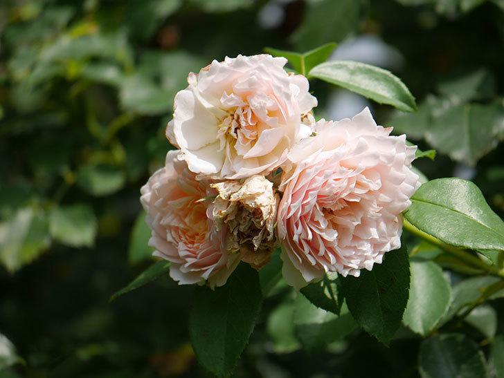 ジンジャー・シラバブ(Ginger Syllabub)の夏花が増えてきた。ツルバラ。2020年-003.jpg