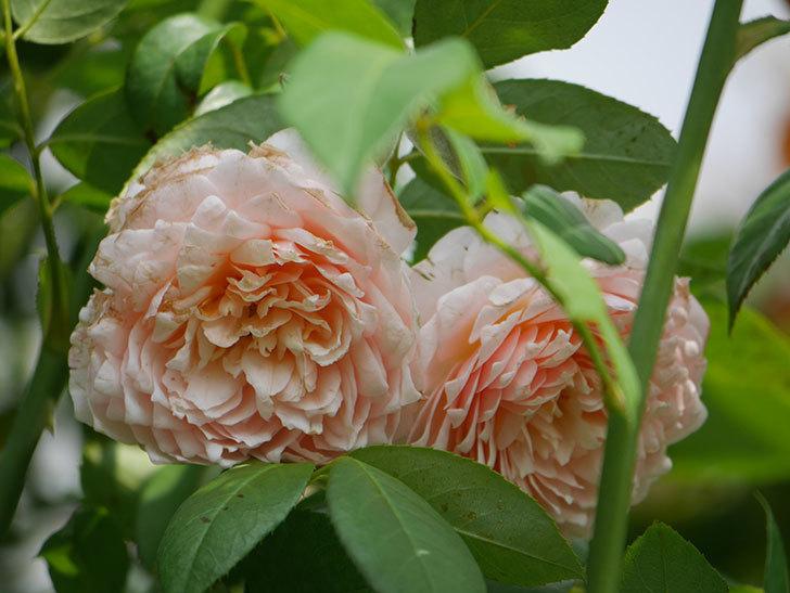ジンジャー・シラバブ(Ginger Syllabub)の夏花が増えてきた。ツルバラ。2020年-006.jpg