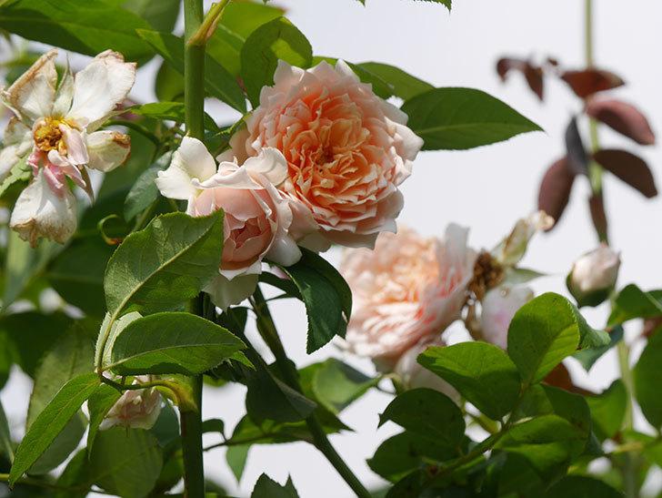 ジンジャー・シラバブ(Ginger Syllabub)の夏花が増えてきた。ツルバラ。2020年-007.jpg