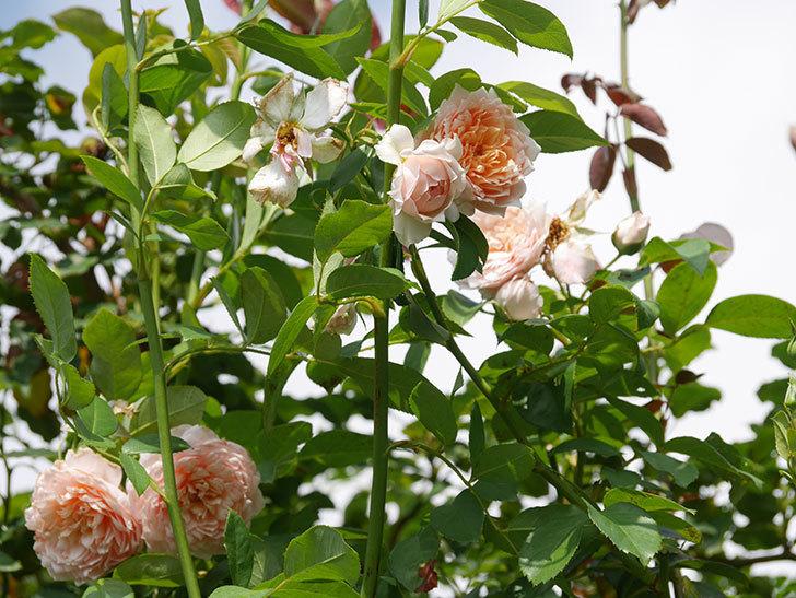 ジンジャー・シラバブ(Ginger Syllabub)の夏花が増えてきた。ツルバラ。2020年-008.jpg