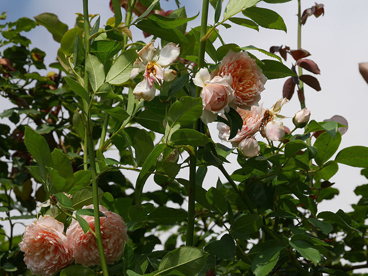 ジンジャー・シラバブ(Ginger Syllabub)の夏花が増えてきた。ツルバラ。2020年-009.jpg