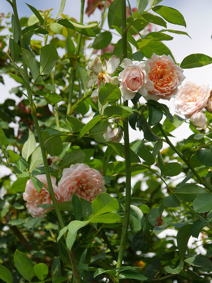 ジンジャー・シラバブ(Ginger Syllabub)の夏花が増えてきた。ツルバラ。2020年-010.jpg