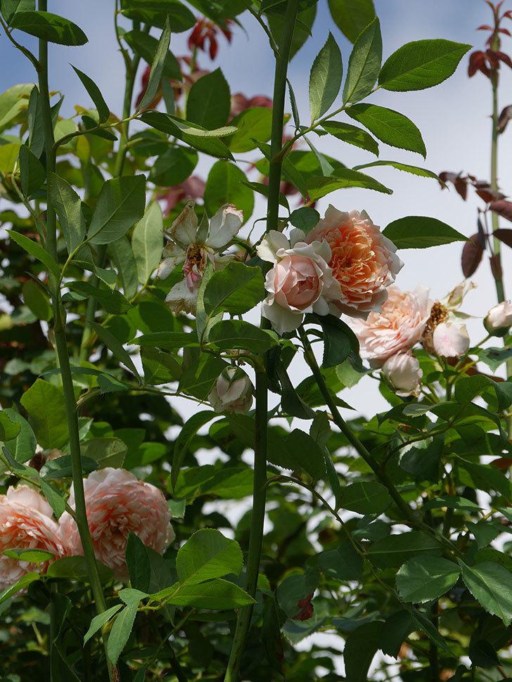 ジンジャー・シラバブ(Ginger Syllabub)の夏花が増えてきた。ツルバラ。2020年-011.jpg