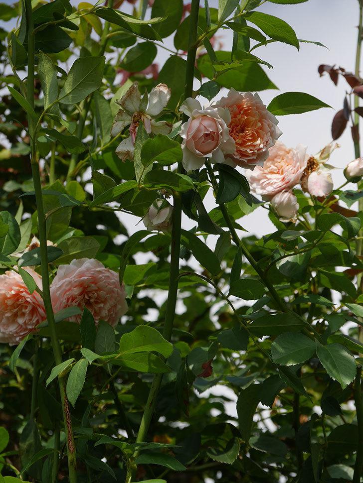 ジンジャー・シラバブ(Ginger Syllabub)の夏花が増えてきた。ツルバラ。2020年-012.jpg
