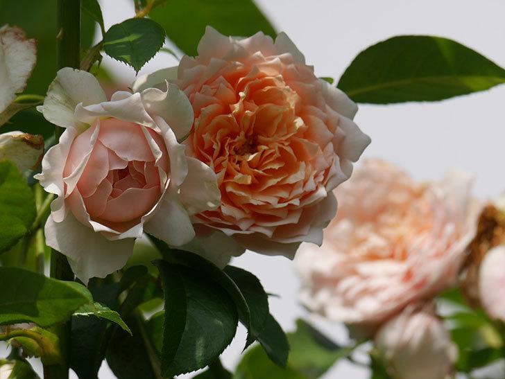 ジンジャー・シラバブ(Ginger Syllabub)の夏花が増えてきた。ツルバラ。2020年-013.jpg