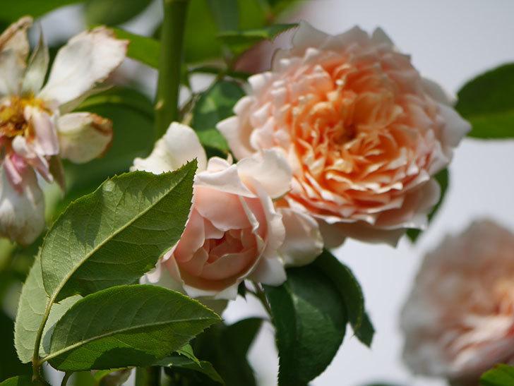 ジンジャー・シラバブ(Ginger Syllabub)の夏花が増えてきた。ツルバラ。2020年-014.jpg