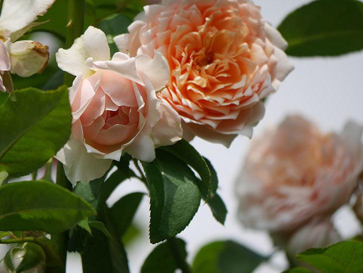 ジンジャー・シラバブ(Ginger Syllabub)の夏花が増えてきた。ツルバラ。2020年-015.jpg
