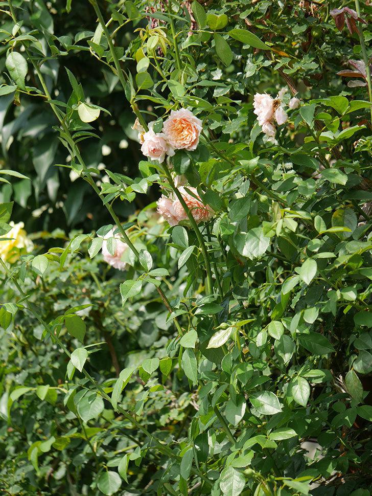 ジンジャー・シラバブ(Ginger Syllabub)の夏花が増えてきた。ツルバラ。2020年-016.jpg