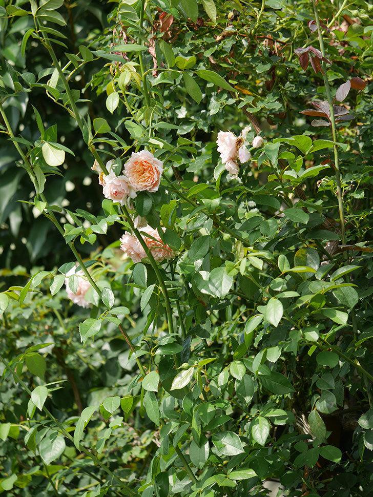 ジンジャー・シラバブ(Ginger Syllabub)の夏花が増えてきた。ツルバラ。2020年-017.jpg