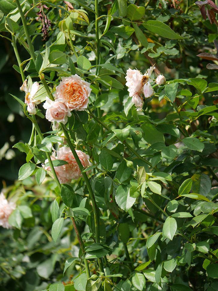 ジンジャー・シラバブ(Ginger Syllabub)の夏花が増えてきた。ツルバラ。2020年-018.jpg