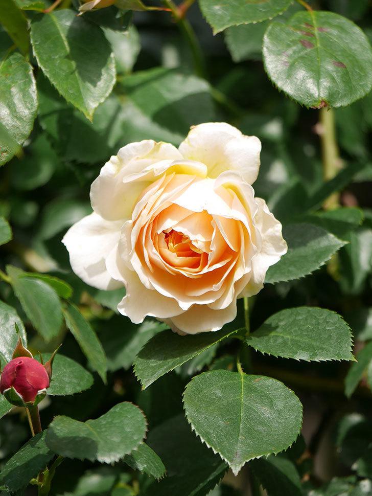 ジンジャー・シラバブ(Ginger Syllabub)の花が咲いた。ツルバラ。2021年-008.jpg