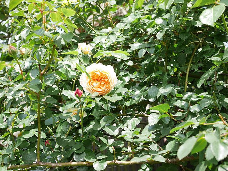 ジンジャー・シラバブ(Ginger Syllabub)の花が増えてきた。ツルバラ。2021年-001.jpg