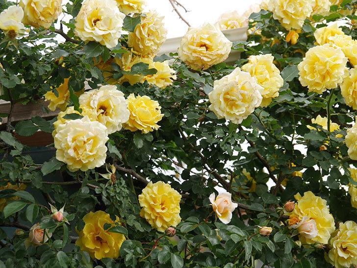 ジンジャー・シラバブ(Ginger Syllabub)の花が増えてきた。ツルバラ。2021年-002.jpg