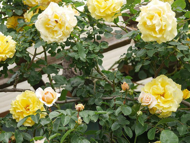 ジンジャー・シラバブ(Ginger Syllabub)の花が増えてきた。ツルバラ。2021年-003.jpg