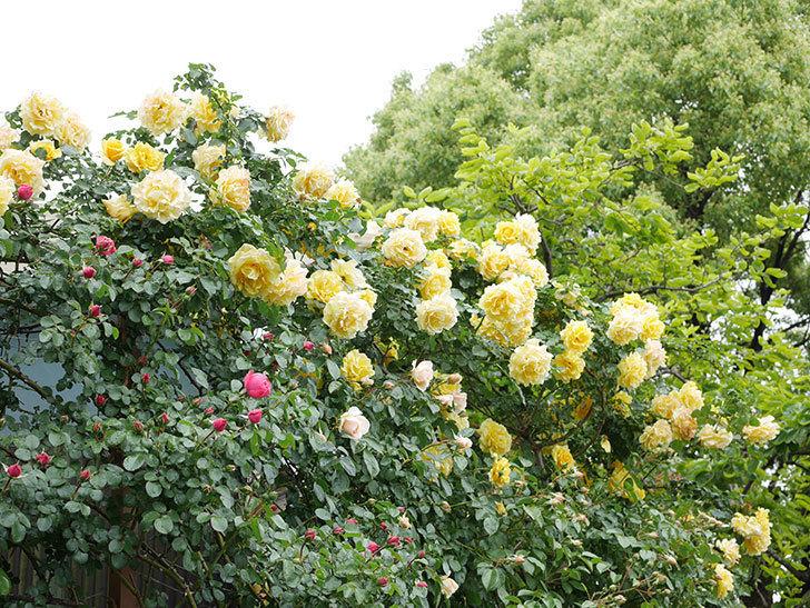 ジンジャー・シラバブ(Ginger Syllabub)の花が増えてきた。ツルバラ。2021年-014.jpg