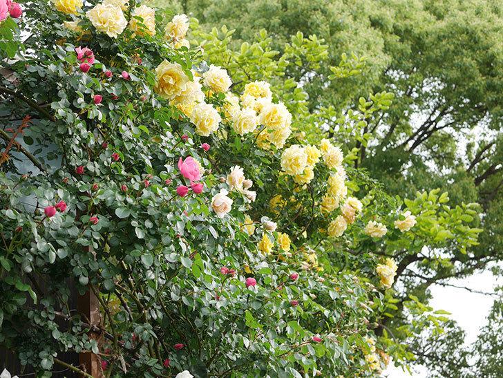 ジンジャー・シラバブ(Ginger Syllabub)の花が増えてきた。ツルバラ。2021年-015.jpg