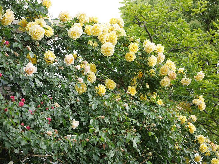 ジンジャー・シラバブ(Ginger Syllabub)の花が増えてきた。ツルバラ。2021年-017.jpg