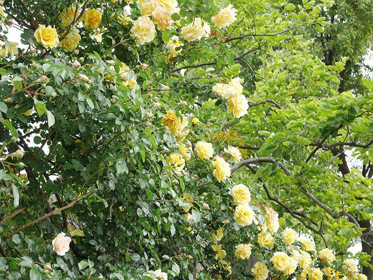 ジンジャー・シラバブ(Ginger Syllabub)の花が増えてきた。ツルバラ。2021年-018.jpg