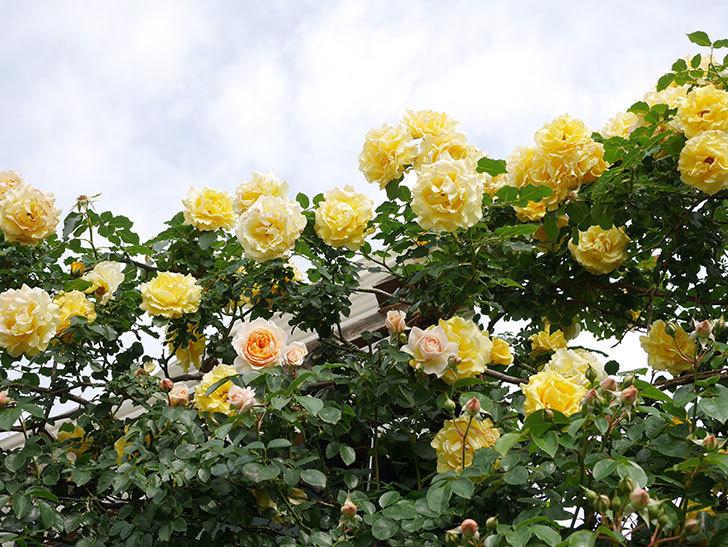 ジンジャー・シラバブ(Ginger Syllabub)の花が増えてきた。ツルバラ。2021年-021.jpg