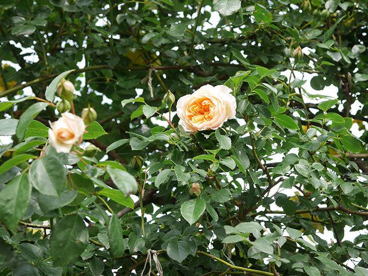 ジンジャー・シラバブ(Ginger Syllabub)の花が増えてきた。ツルバラ。2021年-023.jpg