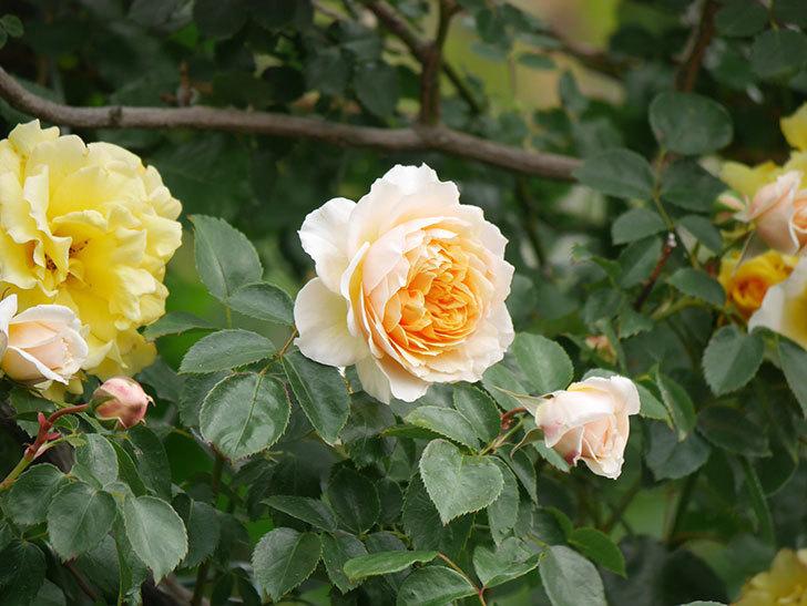 ジンジャー・シラバブ(Ginger Syllabub)の花が増えてきた。ツルバラ。2021年-024.jpg