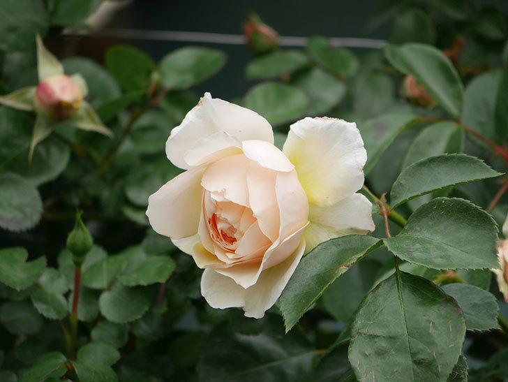 ジンジャー・シラバブ(Ginger Syllabub)の花が増えてきた。ツルバラ。2021年-025.jpg