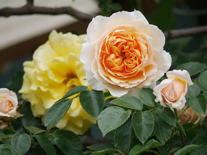 ジンジャー・シラバブ(Ginger Syllabub)の花が増えてきた。ツルバラ。2021年-026.jpg
