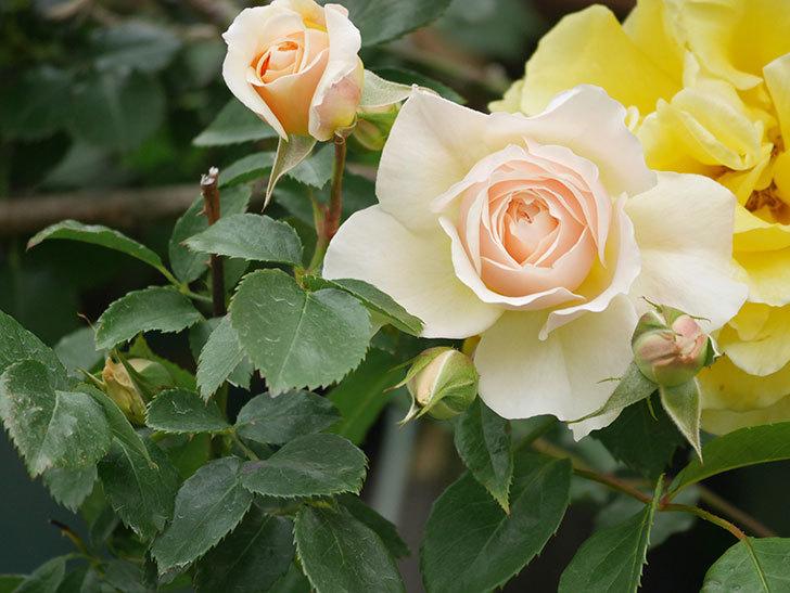 ジンジャー・シラバブ(Ginger Syllabub)の花が増えてきた。ツルバラ。2021年-027.jpg