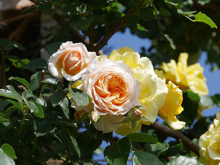 ジンジャー・シラバブ(Ginger Syllabub)の花が増えてきた。ツルバラ。2021年-033.jpg