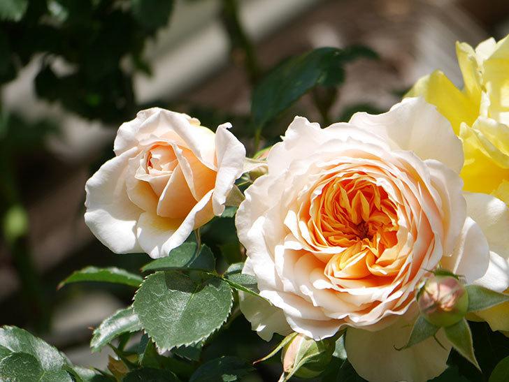ジンジャー・シラバブ(Ginger Syllabub)の花が増えてきた。ツルバラ。2021年-036.jpg