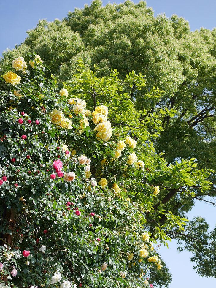 ジンジャー・シラバブ(Ginger Syllabub)の花が増えてきた。ツルバラ。2021年-038.jpg