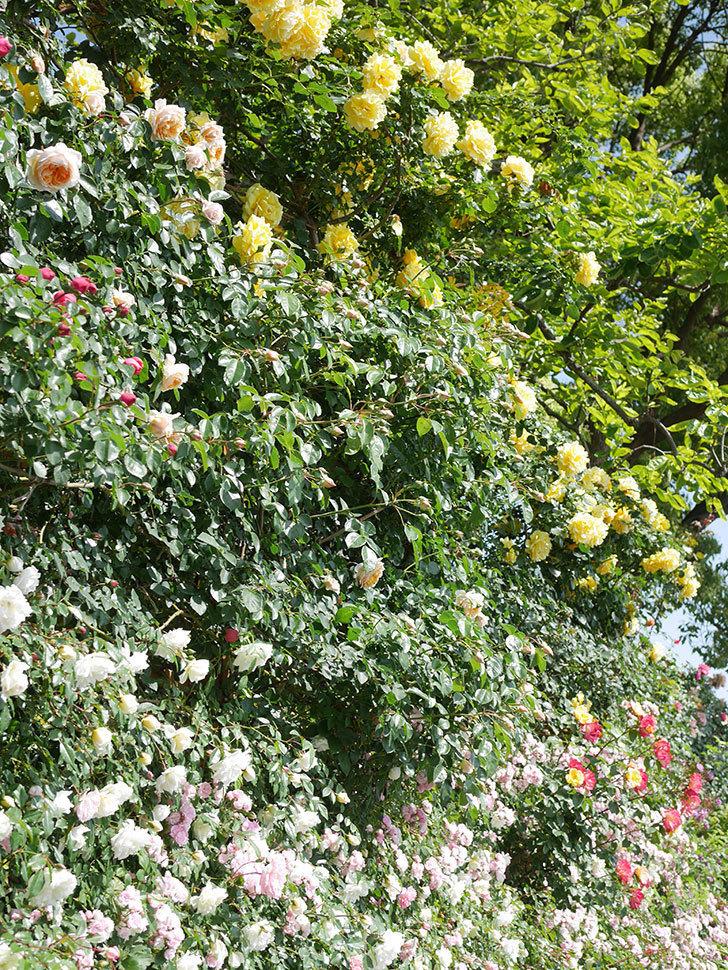 ジンジャー・シラバブ(Ginger Syllabub)の花が増えてきた。ツルバラ。2021年-042.jpg
