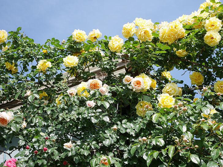 ジンジャー・シラバブ(Ginger Syllabub)の花が増えてきた。ツルバラ。2021年-043.jpg