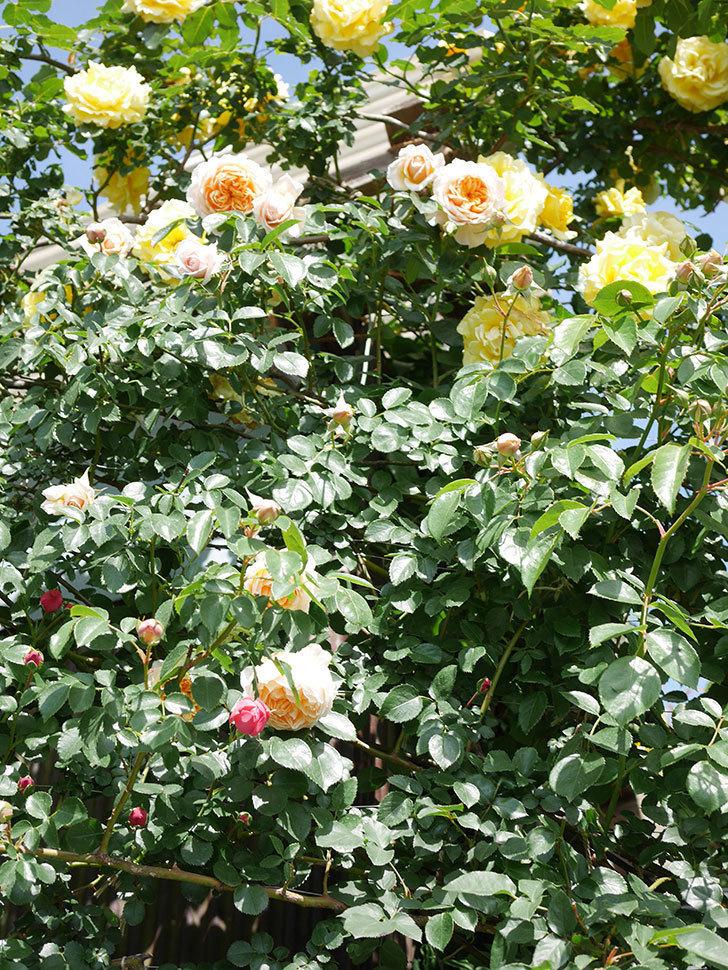 ジンジャー・シラバブ(Ginger Syllabub)の花が増えてきた。ツルバラ。2021年-045.jpg