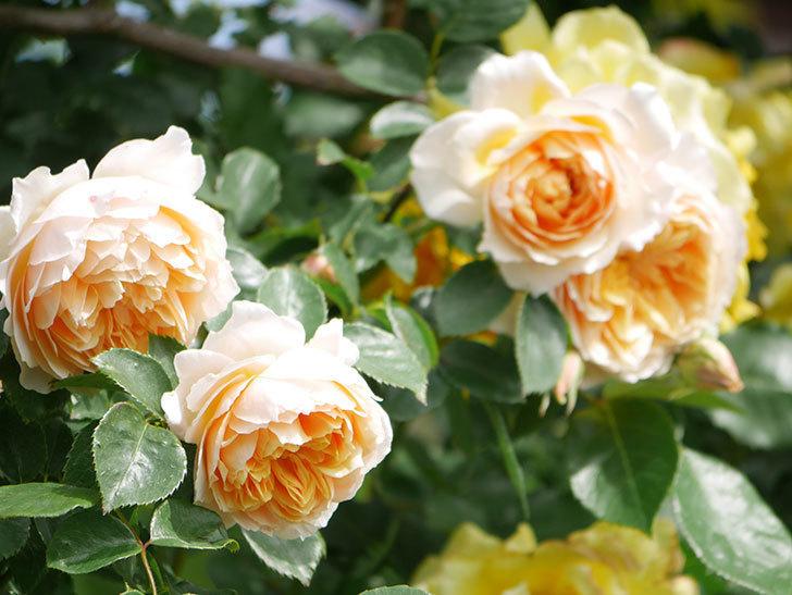 ジンジャー・シラバブ(Ginger Syllabub)の花が増えてきた。ツルバラ。2021年-050.jpg