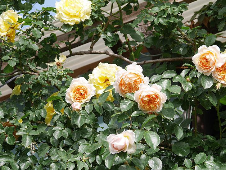 ジンジャー・シラバブ(Ginger Syllabub)の花が増えてきた。ツルバラ。2021年-051.jpg