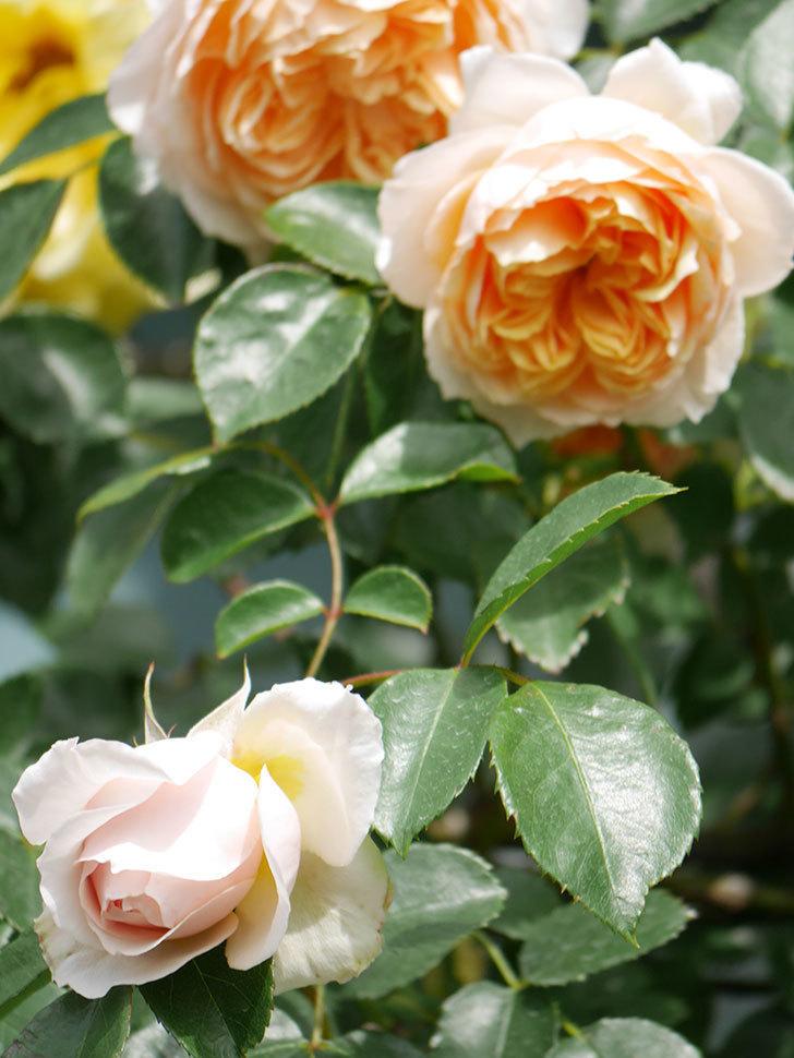 ジンジャー・シラバブ(Ginger Syllabub)の花が増えてきた。ツルバラ。2021年-053.jpg