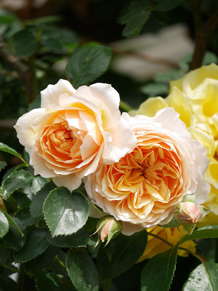 ジンジャー・シラバブ(Ginger Syllabub)の花が増えてきた。ツルバラ。2021年-054.jpg