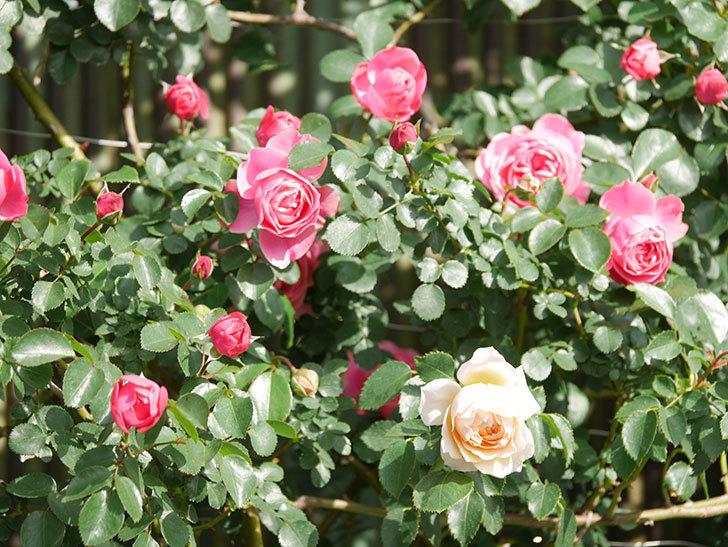 ジンジャー・シラバブ(Ginger Syllabub)の花が増えてきた。ツルバラ。2021年-055.jpg