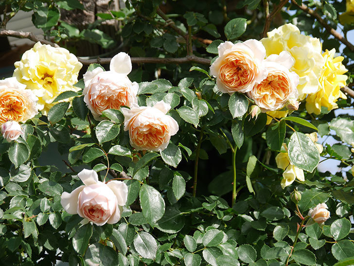 ジンジャー・シラバブ(Ginger Syllabub)の花が増えてきた。ツルバラ。2021年-056.jpg