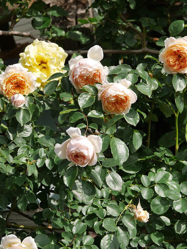 ジンジャー・シラバブ(Ginger Syllabub)の花が増えてきた。ツルバラ。2021年-057.jpg