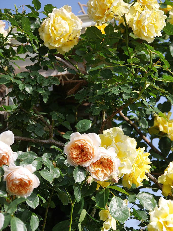 ジンジャー・シラバブ(Ginger Syllabub)の花が増えてきた。ツルバラ。2021年-059.jpg