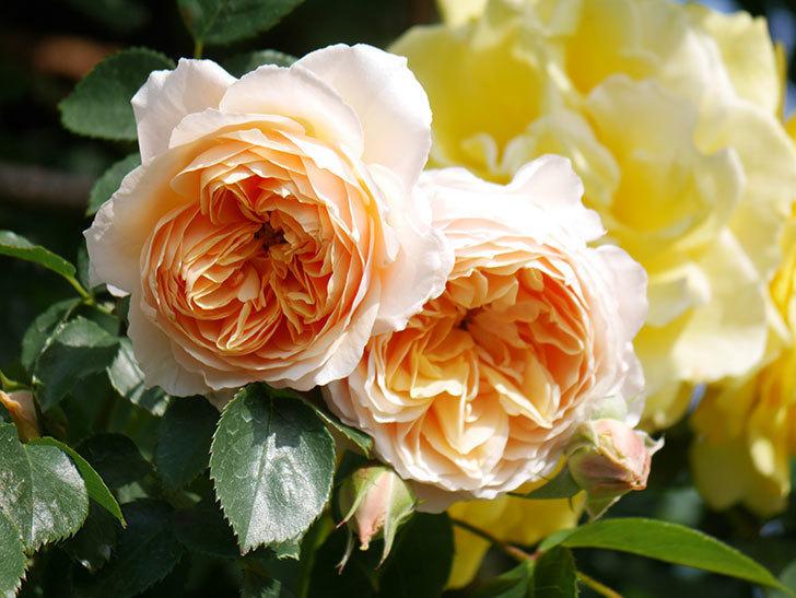 ジンジャー・シラバブ(Ginger Syllabub)の花が増えてきた。ツルバラ。2021年-061.jpg