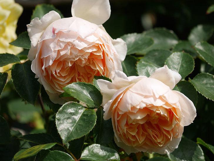 ジンジャー・シラバブ(Ginger Syllabub)の花が増えてきた。ツルバラ。2021年-062.jpg