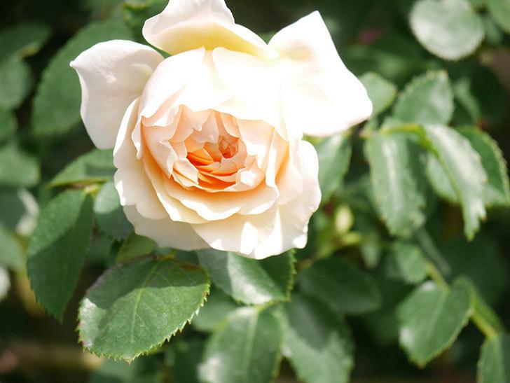 ジンジャー・シラバブ(Ginger Syllabub)の花が増えてきた。ツルバラ。2021年-063.jpg