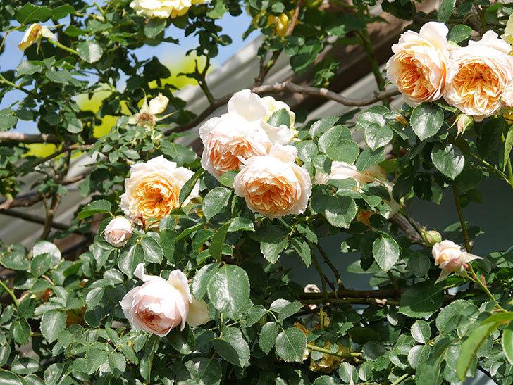ジンジャー・シラバブ(Ginger Syllabub)の花が増えてきた。ツルバラ。2021年-064.jpg