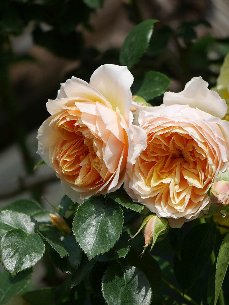 ジンジャー・シラバブ(Ginger Syllabub)の花が増えてきた。ツルバラ。2021年-066.jpg