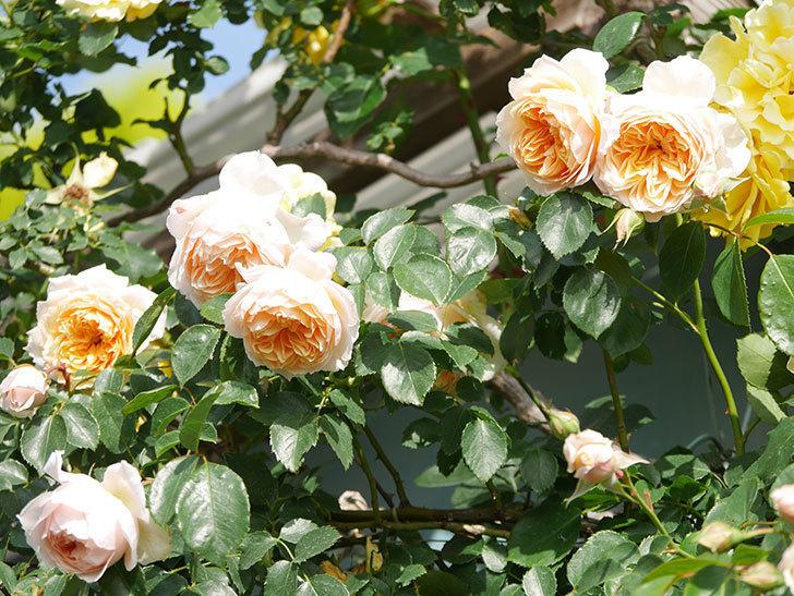 ジンジャー・シラバブ(Ginger Syllabub)の花が増えてきた。ツルバラ。2021年-068.jpg