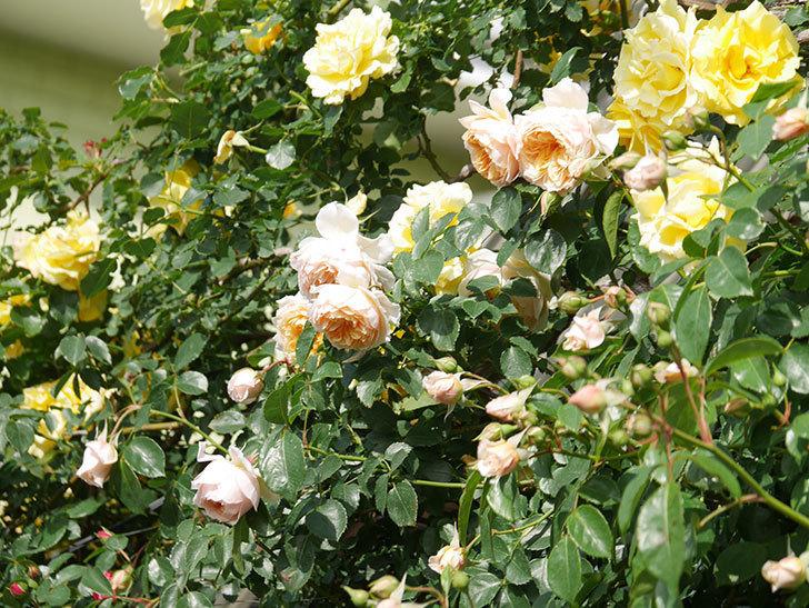 ジンジャー・シラバブ(Ginger Syllabub)の花が増えてきた。ツルバラ。2021年-069.jpg